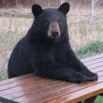 Detroit Bear picture
