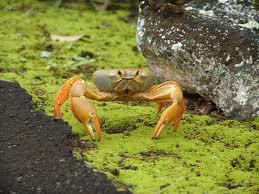 Fiji Land Crab