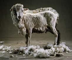 fleecing