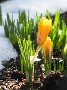 Photo of flowers emerging from the snow