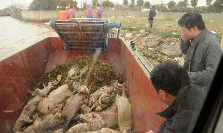 Dead pigs in China